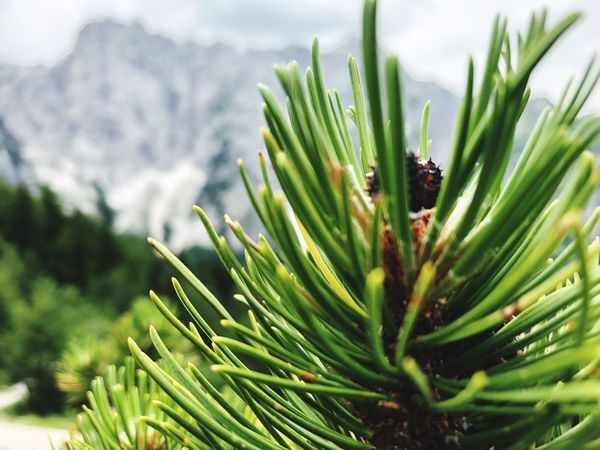 Plant Growth Green Color Close-up Day Nature Beauty In Nature Coniferous Tree Selective Focus Tree Outdoors No People