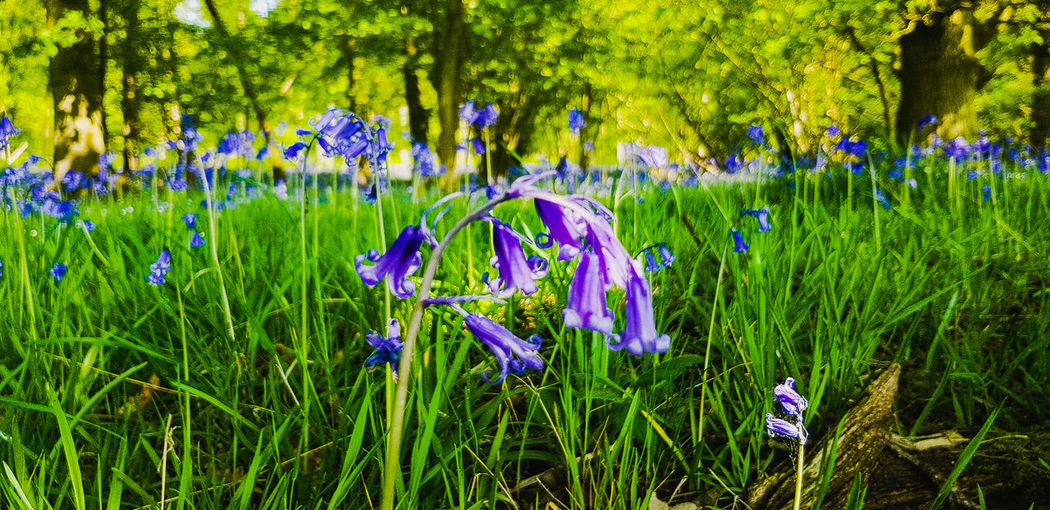 Blue Bells Nature Countryside Flower Flower Head Tree Field Purple Grass Close-up Plant Green Color Blooming Wildflower Plant Life
