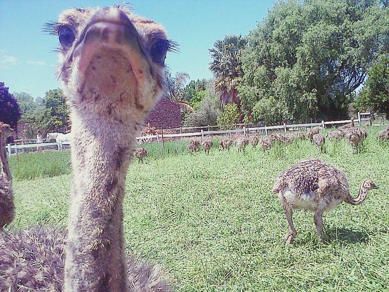 Ostrich Cuteness Farmlife Farmanimals Iloveanimals