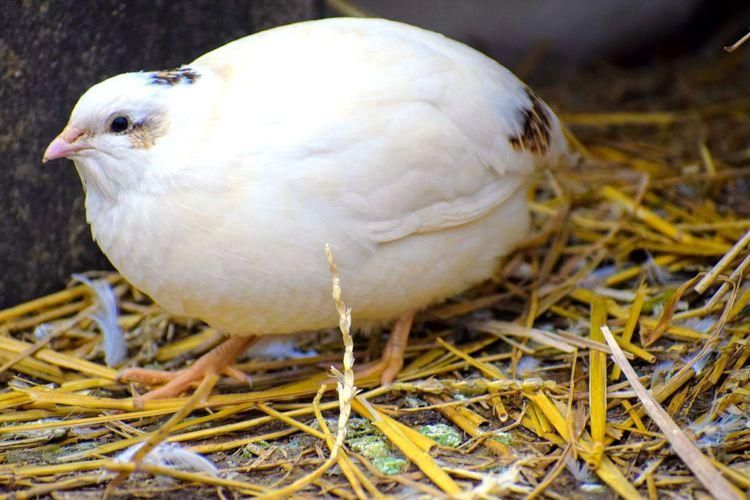 Bird Quail