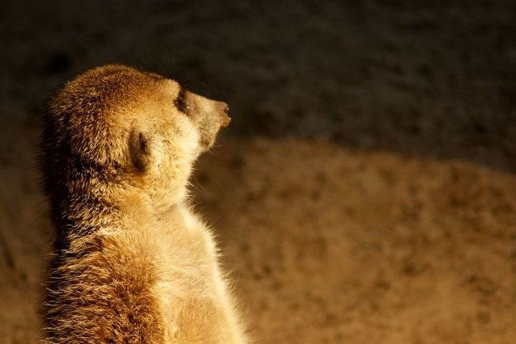 Mammal Meerkat Animal Wildlife One Animal Animals In The Wild No People Animal Body Part Vertebrate Close-up Animal Hair Standing Outdoors Nature Profile View Desert Side View Baboon