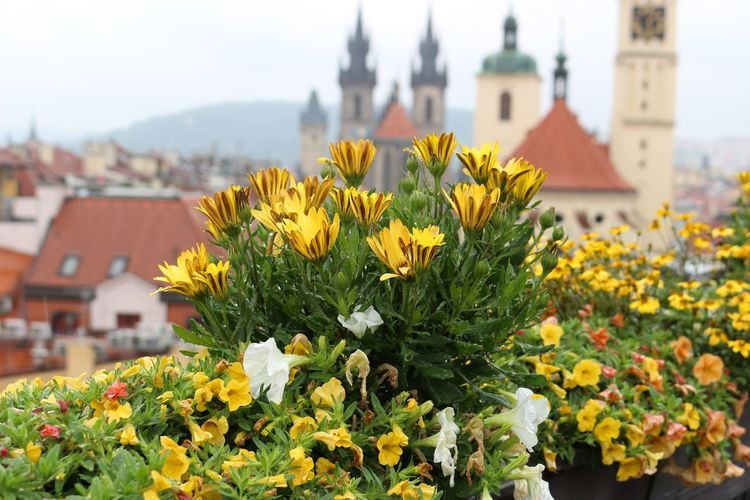 Marigold Bright Colors Flowers,Plants & Garden Flowers Flowering Plant Red Roofs Cathedral Silhouette Bokeh St. Vitus Cathedral Flower Head Flower Cityscape City Yellow Close-up Architecture Building Exterior Built Structure Plant In Bloom Botany Blossom Blooming Plant Life Place Of Worship Catholicism Cathedral Focus