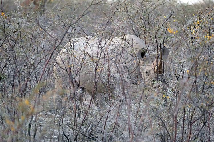 Rhinoceros in etosha national park, namibia