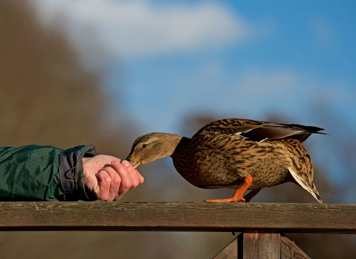 Mallard eating from a hand Female Mallard Animal And People Animal Themes Animal Wildlife Animals In The Wild Bird Close-up Day Eating From A Human Hand Friendship Human Hand Mallard Duck Nature One Person Outdoors Sky Together Trust Anas Platyrhynchos