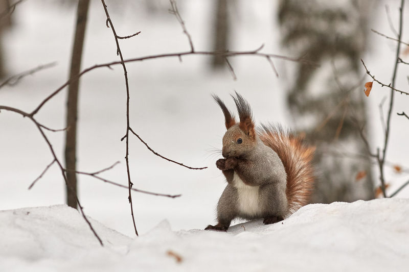 Squirrel eating hazelnut during winter