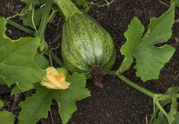 Squash growing on the vegetable bed in the garden. Agriculture Close-up Day Field Food Food And Drink Freshness Gardening Green Color Growth Healthy Eating Land Leaf Nature No People Outdoors Plant Plant Part Pumpkin Vegetable Wellbeing Zucchini; Ripe; Garden; Season; Harvest; Crop; Plant; Plants; Green; Tasty; Leaves; Healthy; Vegetarian; Diet; Vegetables; Vitamins; Summer; Soil; Squash; Pumpkins; Leaf; Gardening; Botanical; Grass; Agriculture.