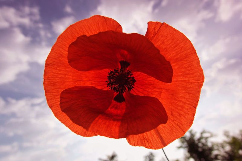 Poppy Flower Cloud - Sky Plant Sky Beauty In Nature Flower Red Nature Flower Head Inflorescence No People Fragility Growth Poppy Freshness Close-up Orange Color Petal Vulnerability  Flowering Plant Outdoors