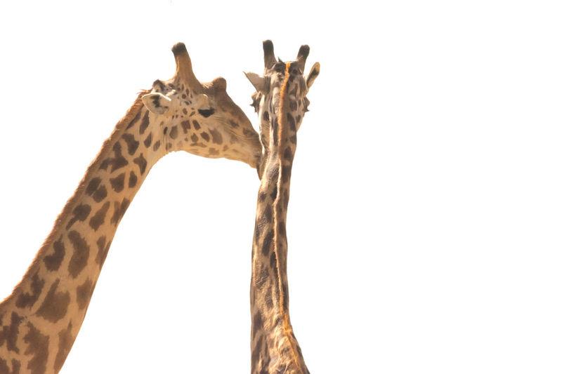 Serengeti Tanzania Couple Giraffes! Lovers Relationship Animal Themes Animal Wildlife Animals In The Wild Day Nature No People Outdoors Safari