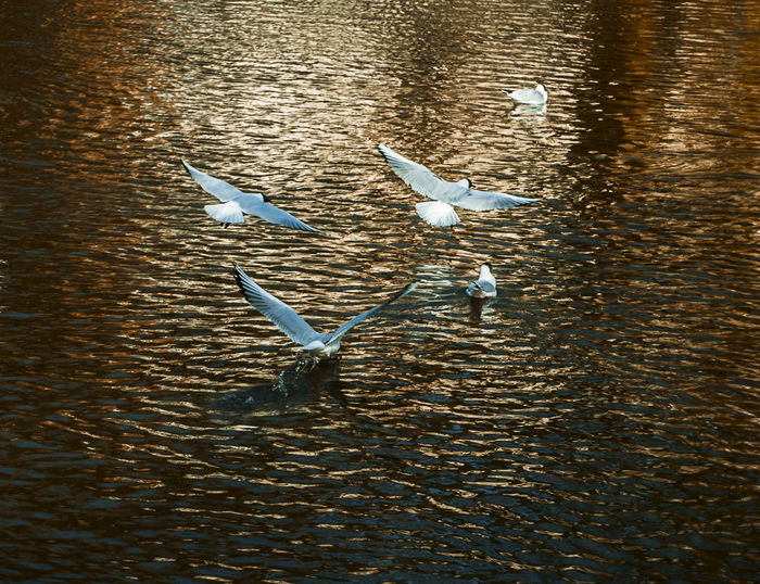 Three Objects Movement Nature Gold Colored Swan Lake Rippled Swimming Seagull Golden Wat Pho Flock Of Birds