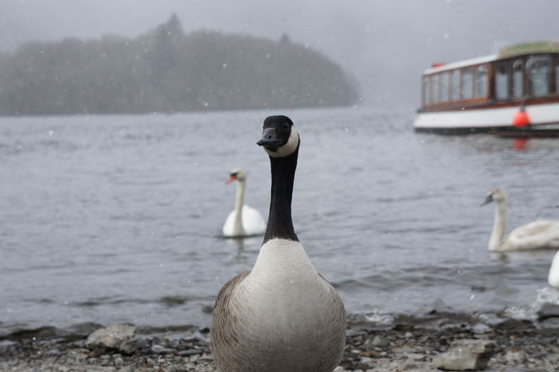 Close-up of canada goose on shore at beach