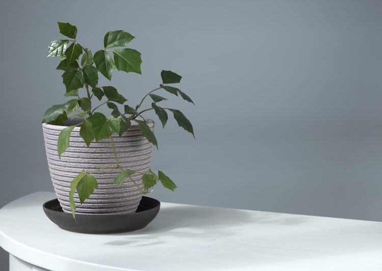 Close-up of potted plant on table against wall