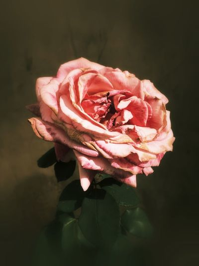 Close-up of wilted rose against black background
