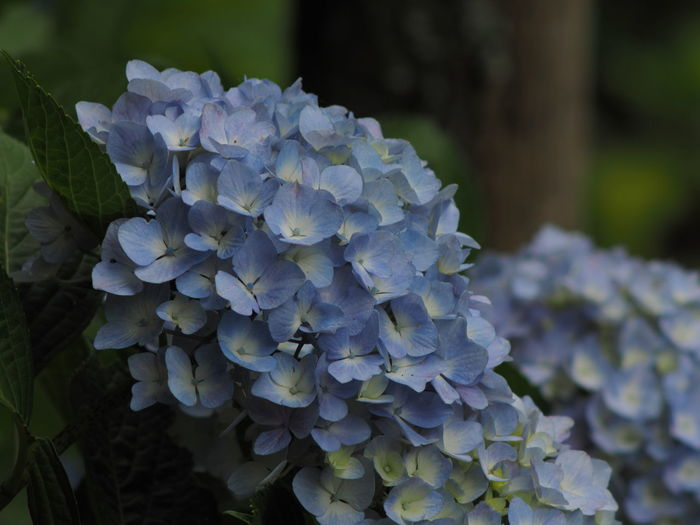 Flower Flowering Plant Plant Beauty In Nature Vulnerability  Fragility Close-up Petal Growth Hydrangea Flower Head Inflorescence Freshness Nature No People Day Focus On Foreground Botany Blue Bunch Of Flowers Springtime Outdoors Purple Hydrangea Olympus Olympus OM-D EM-1 Zuiko Saga Japan