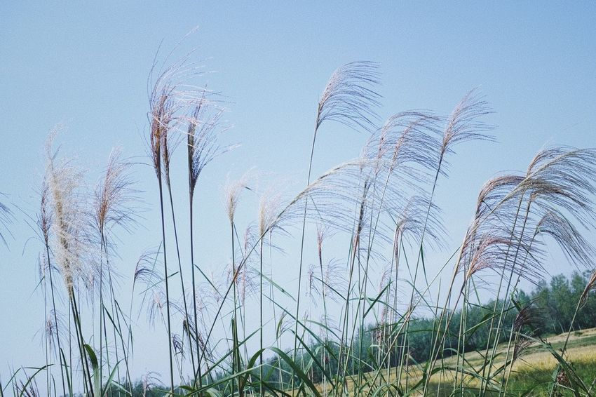 Beauty In Nature Clear Sky Close-up Day Environment Field Grass Growth Land Low Angle View Marram Grass Nature No People Outdoors Plant Reed - Grass Family Scenics - Nature Sky Stalk Timothy Grass Tranquil Scene Tranquility