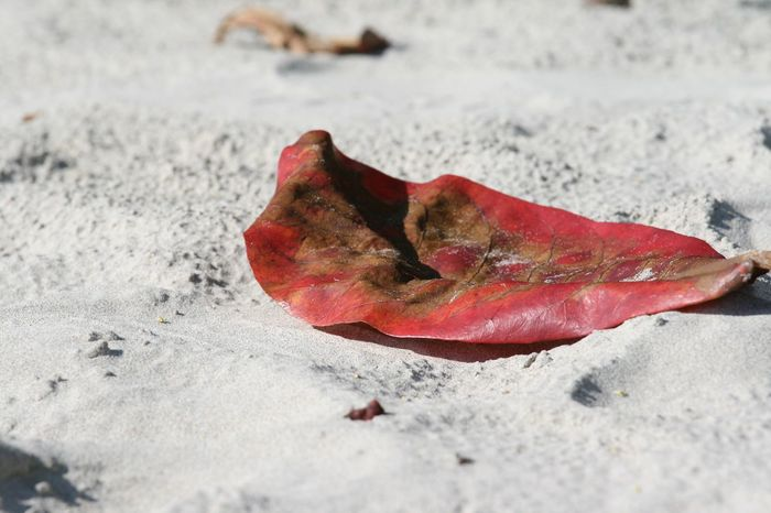 Red leaf Thai Koh Chang Thailand Leaf Land Sand Beach Day Close-up No People Nature Sunlight Red High Angle View Selective Focus