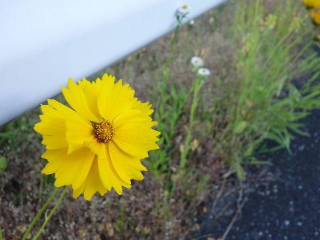 花 キバナコスモス