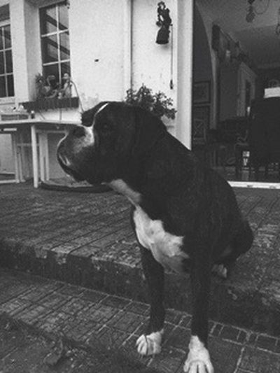 Animals Animal Animal Photography Animals In The Wild Boxer Boxer Dogs Blackandwhite Black And White Black & White Dogs Dog Chien Chien♥ Chiens