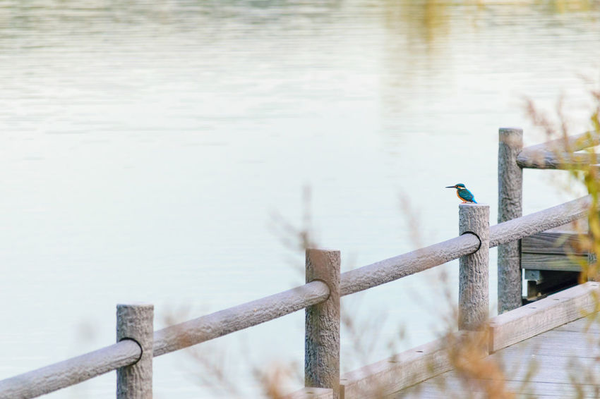 Photographed in the evening of December winter solstice. 12月冬至の夕方に撮影。 Animal Themes Animal Wildlife Animals In The Wild Beauty In Nature Bird Close-up Day Focus On Foreground Kingfisher Lake Nature No People One Animal Outdoors Perching Railing Water Wood - Material Wooden Post カワセミ