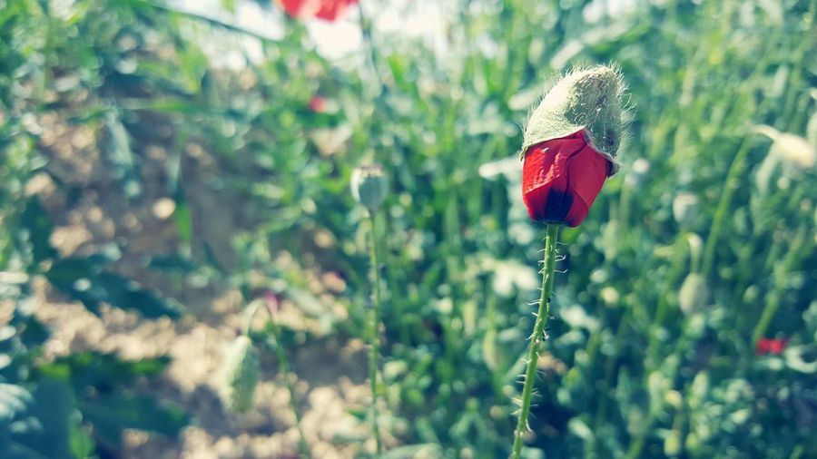 New Life While Walking Light And Shadow Nature Fragility Focus On Foreground Close-up Card Design Summer Things Around Me Personal Perspective Art Photgraphy Art Is Everywhere Art Photo Beauty In Nature Growth Plant Poppy In A Field Outdoors Textured  On Tour Red Color Poppy Season Poppy Flower Green Color