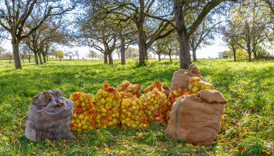 Sacks with harvested apples Apple Baden-Württemberg  Bio Diet Farm Streuobstwiese Agriculture Apple Tree Autumn Bag Ecology Field Food Food And Drink Fruit Germany Growth Harvest Harvesting Healthy Eating Land Nature Sack Schwäbische Alb Tree
