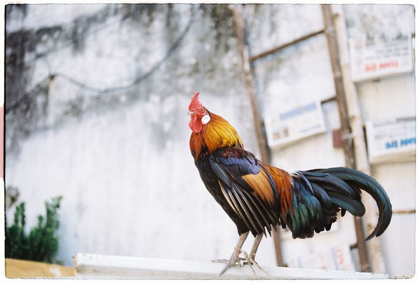 135mm 35mm 35mm Camera 35mm Film 35mmfilm Analog Analogue Analogue Photography Animal Crest Belive In Film Chicken Film Film Photography Filmisnotdead I Still Shoot Film No People Rooster Thuycoi