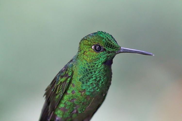 Close-up of green-crowned brilliant