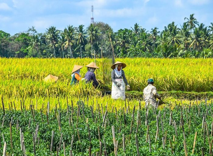 Jatiluwih Rice Terrace - Bali, Indonesia Jatiluwih Jatiluwih Rice Terrace Jatiluwih Rice Terraces Plant Growth Farm Rice Cultivation Agriculture Land Bali Bali, Indonesia INDONESIA Indonesia_photography Working Farmer Rice - Cereal Plant Plantation Occupation