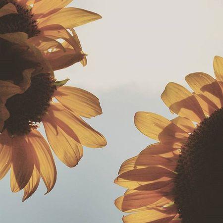 Two is better than one :) Sunflower Happyflowers Flowerstalking Flowerpop Flowermagic Flaming_flora Ig_captures Ig_photolove Ig_shutterbugs Ig_brilliant Natureaddictsun Nature_up_close Splendid_shotz Ig_countryside Ptk_nature Bd_flower