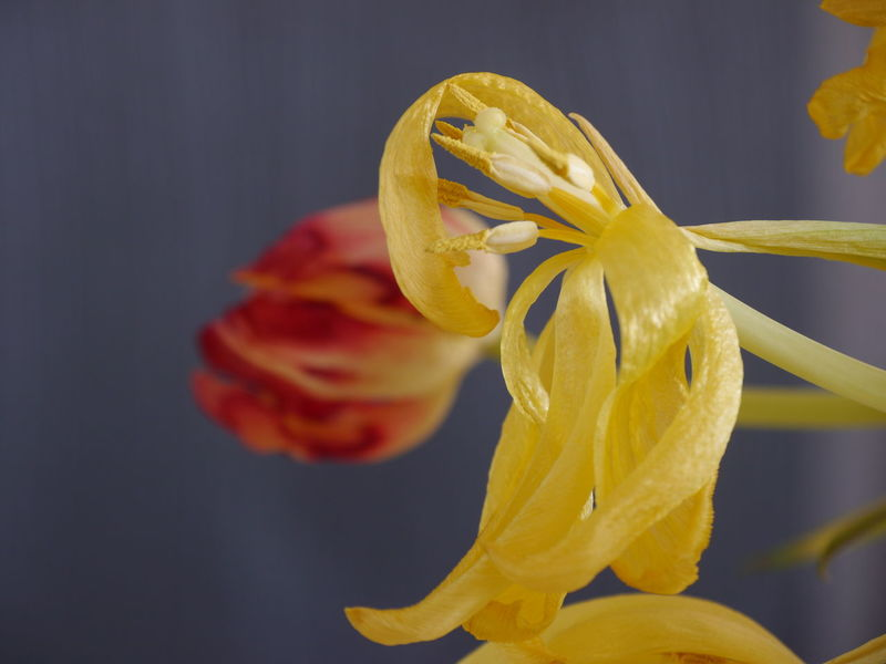Transient Close-up Nature Indoors  Yellow No People Eyem Gallery Flowers Fragility EyeEm Gallery Blooming Flowers Tulips Freshness Petals Faded Beauty Yellow And Red Stamen Selective Focus Transient