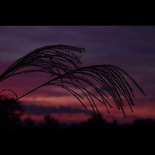 風景 夕暮れ すすき 空
