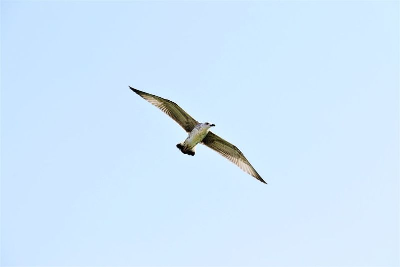 Flying Spread Wings Animals In The Wild Bird One Animal Mid-air Animal Wildlife Copy Space Low Angle View Animal Themes Clear Sky Nature Bird Of Prey Day Outdoors Motion Sky Beauty In Nature No People