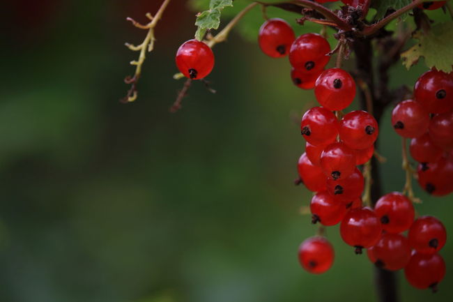 Berries Beauty In Nature Berries Collection Close-up Day Focus On Foreground Food Food And Drink Freshness Growth Nature No People Outdoors Plant Red Redcurrant