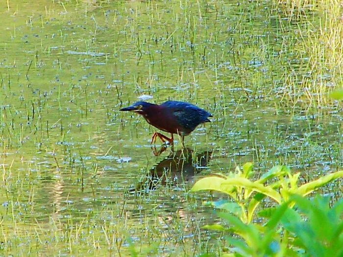 Green heron Marsh Lake Nature Water Lakeshore Lakeside Birds Bird Greenheron Heron Herons Water Bird Day Beauty In Nature Water Fowl Green Relaxation Animal Themes Tranquility Outdoors Non-urban Scene