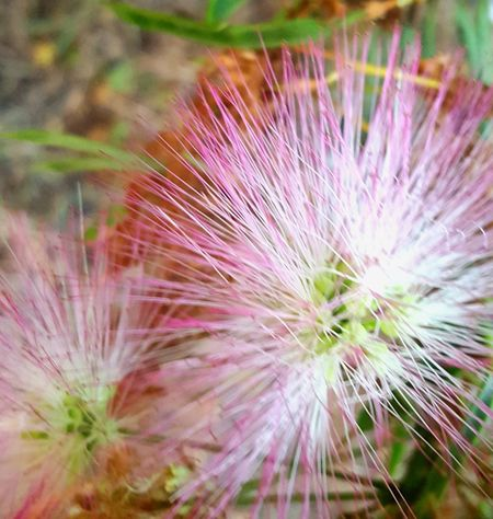 mimosa bloom Flower Head Flower Wildflower Springtime Close-up Plant In Bloom Blossom Softness Blooming