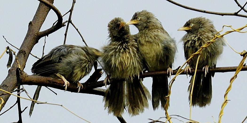 Jungle Babler Branch Animal Wildlife Bird Nature India Durg