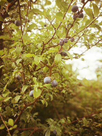 Tree Branch Leaf Fruit Twig Close-up Plant