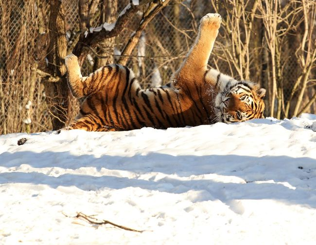 Germany Munich zoo Animal Animal Zoo Animalonsnow EyeEmNewHere Landscape Lion MunichZoo Nuture Snow ❄ Tigers Zoo