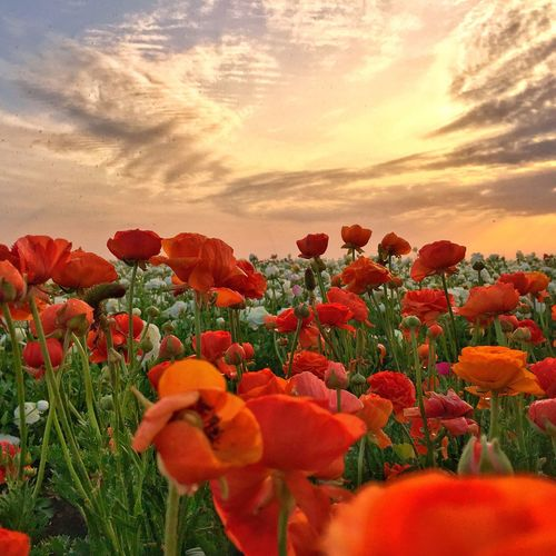Close-up of poppies blooming on field against sky during sunset