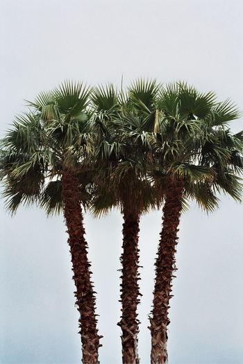 Analog Analog Photography Analogue Analogue Photography EyeEm EyeEm Best Shots EyeEm Gallery EyeEm Nature Lover EyeEmBestPics Nature Outdoors Palm Palm Tree Sky Streetphotography Tranquility TheWeekOnEyeEM