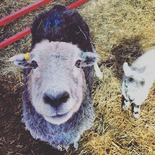 High angle portrait of sheep