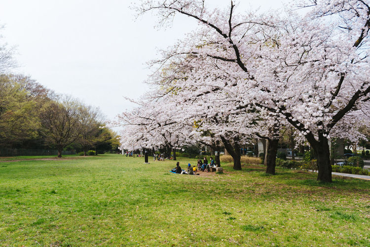 Akatsuka Park, Tokyo. Sakura Season 2016. Beauty In Nature Bench Branch Cherry Tree Day Field Flower Grass Green Color Growth Large Group Of People Nature Park Park - Man Made Space Person Sakura Tranquil Scene Tranquility Tree Tree Trunk