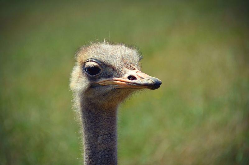Close-up portrait of ostrich