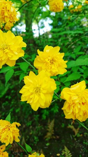 【Shiga,Japan】spring of Japan 石山寺 Japanese Kerria Ishiyamadera Spring April Shiga,Japan Beautiful Flower Flower Head Yellow Leaf