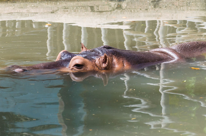 Portrait of turtle swimming in lake