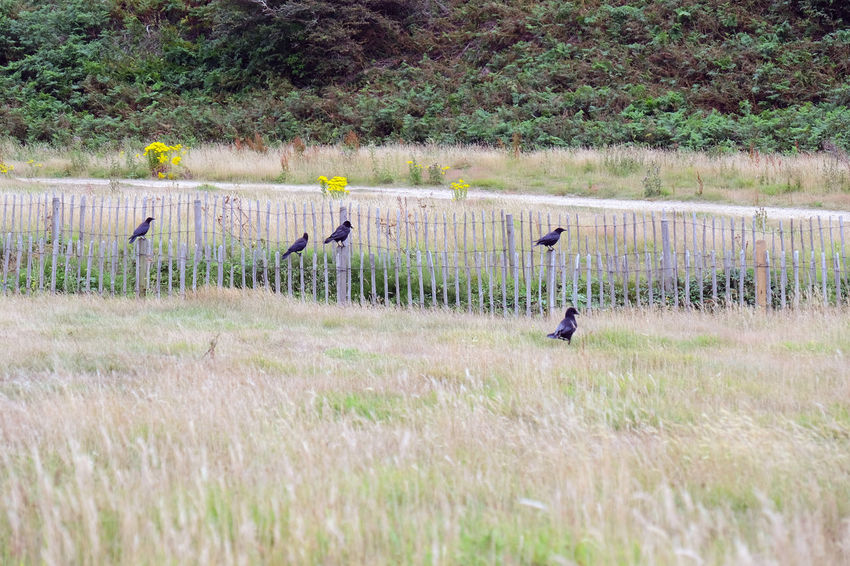 Five crows just hanging out at Val de la Mare. Jersey, Channel Islands Jersey Val De La Mare Wooden Fence Animal Themes Animals In The Wild Beauty In Nature Bird Crow Crows Farm Field Five Birds Grass No People Outdoors Rural Scene Wildlife