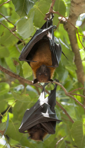 Foxbats in Thailand ASIA Bat Hanging Thailand Animal Themes Animal Wildlife Animals In The Wild Bat - Animal Beauty In Nature Branch Day Focus On Foreground Food Fox Fox Bat Foxbat Fruit Hanging Leaf Low Angle View Nature No People One Animal Outdoors Tree