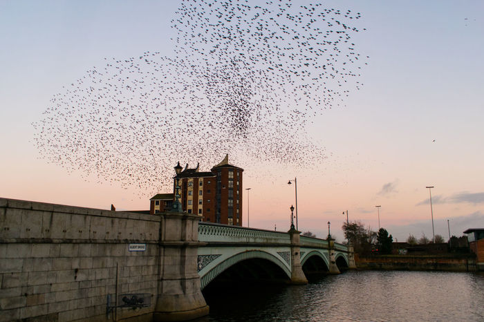 Murmuration Of Starlings Murmuration Flying Bird Flock Of Birds Motion Sky Large Group Of Animals Sunset Outdoors No People Day Belfast City Animal Wildlife Street Light Architecture Cityscape