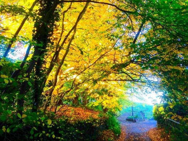 Autumn scene, Kiln Lane Hollow Lane Autumn🍁🍁🍁 Fall Leaves Beauty In Nature Yellow Leaves Green Leaves Trees Early Morning Orange Leaves Fallen Leaves