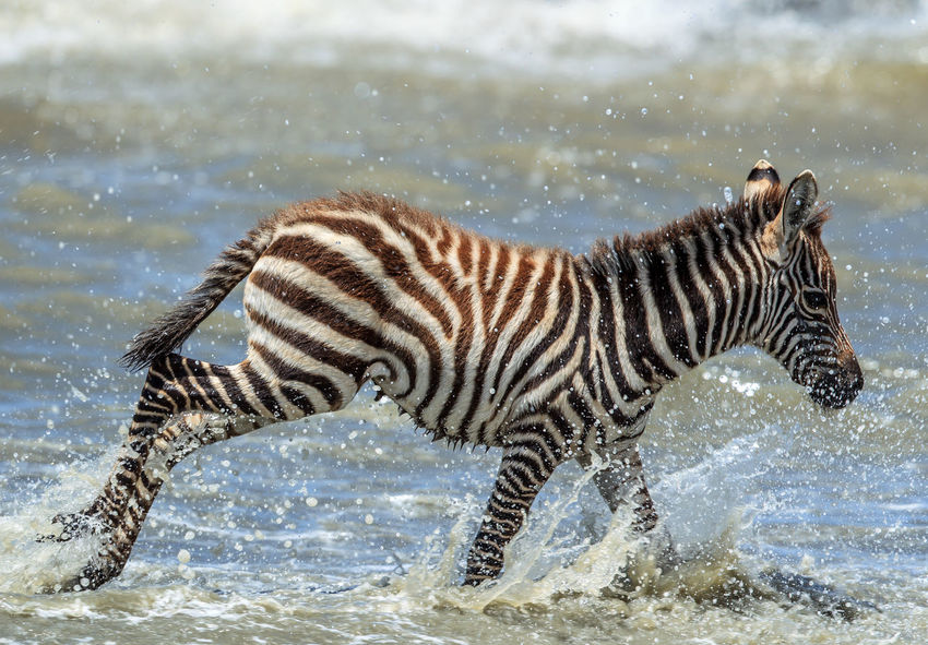 "A young Plains Zebra foal crossing a lake as the dress rehearsal for the Great Migration in teh Serengeti, Tanzania. The plains zebra, also known as the common zebra or Burchell's zebra, or locally as the ""quagga"", is the most common and geographically widespread species of zebra. Animal Themes Animal Wildlife Animals In The Wild Beauty Beauty In Nature Common Zebra Equus Quagga Foal Mammal Motion Nature Nature Photography No People One Animal Plains Zebra River Crossing Running Wild Safari Water Wild Wildlife Wildlife & Nature Wildlife Photography Zebra Crossing Zebra Foal"
