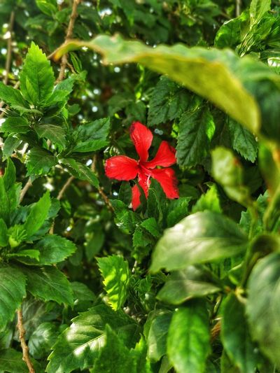 Stand Out. Dwpth Perception Pop Pop Of Red Bright Flower Leaf Red Close-up Plant Green Color Botanical Garden In Bloom Hibiscus Flower Head Blooming Single Flower Plant Life Blossom Petal